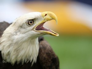 Bald Eagle in Crosshairs of US Fight over Lead Bullets